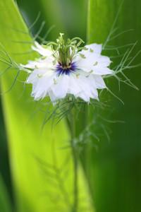 ニゲラ(white)